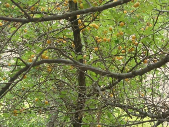 Apricots:)
