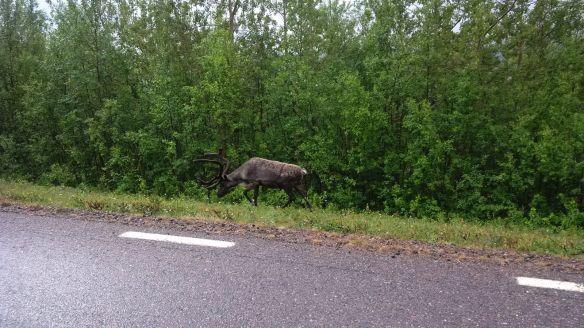 Amazing Reindeer!!